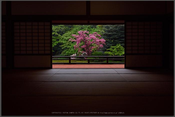 隨心院,雨の石楠花_P4260308,2017yaotomi_T.jpg