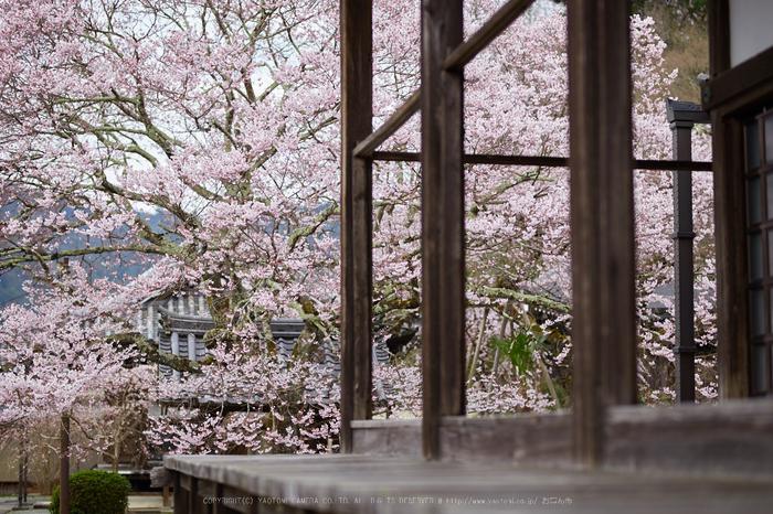 本善寺,桜_IMG_8061,2017yaotomi.jpg