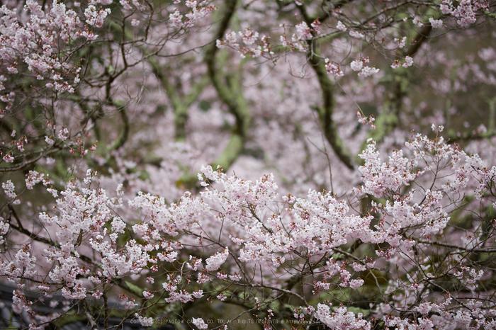 本善寺,桜_IMG_8075,2017yaotomi.jpg