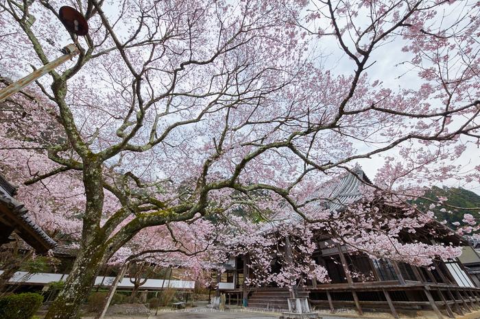 本善寺,桜_IMG_8104,2017yaotomi.jpg