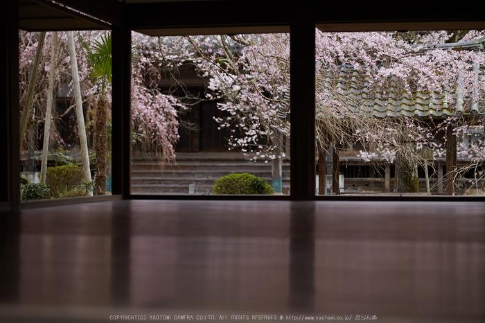 本善寺,桜_IMG_8121,2017yaotomi.jpg