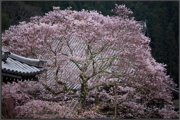 本善寺,桜_IMG_8131,2017yaotomi_T.jpg