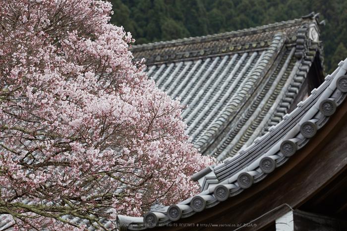 本善寺,桜_IMG_8139,2017yaotomi.jpg