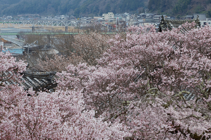 本善寺,桜_IMG_8181,2017yaotomi.jpg